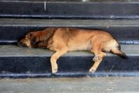 Sleepy dog on the steps of a temple, Matara